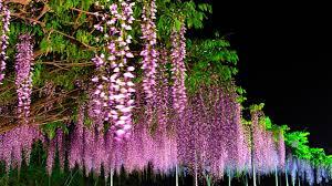 wisteria tree with flowers dark purple wallpaper widescreen hd