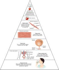 Anatomy And Physiology Cells And Tissues Structural Organization Of The Human Body Anatomy And Physiology