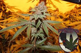 wedding cake genetics purple caper seeds on wedding cake available now
