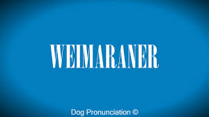 belgian shepherd malinois pronunciation how to pronounce weimaraner youtube