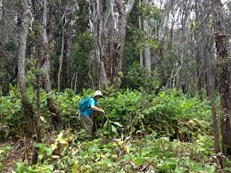 native ginger plant save the hawaiian rainforest and volunteer for u201cstewardship at the