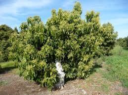 why we cut the trees avocado trees can regrow mimi avocado