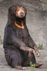 sun bear wikipedia