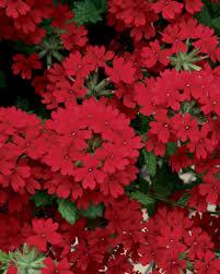 verbena flower superbena royale verbena hybrid proven winners