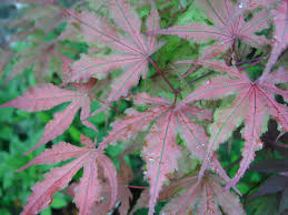 Purple Leaf Peach Tree by Japanese Maples Are Our Favorites At Ambleside Gardens And Nursery