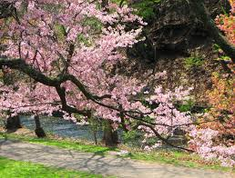 cherry blossom in jersey more than 5 000 cherry trees