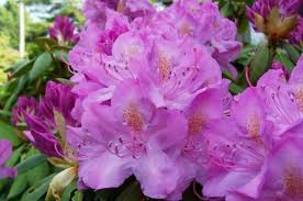 rhododendrons azaleas plant grow care