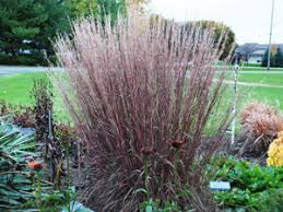 bluestem blue heaven is a drought proof ornamental grass