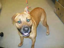 american pitbull terrier rhodesian ridgeback mix view ad bullmastiff rhodesian ridgeback mix dog for adoption