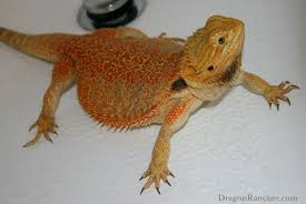 Bearded Dragon Behavior Before Shedding by Reptiles Dragon Rancher Page 6