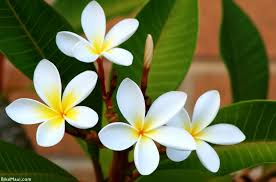 plumeria flower everything about plumeria flower beautiful flowers gardens and