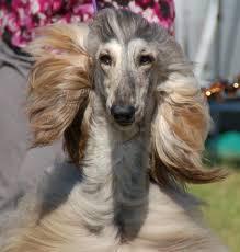 afghan hound 9 months jolie afghan hounds home facebook
