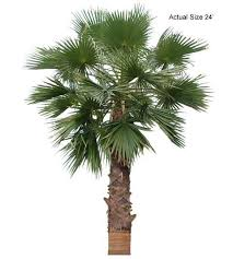 california fan palm tree welcome to your local nursery