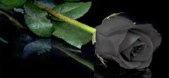 Black Rose Flower Black Rose Flowers Images Wallpaper Simplepict Com