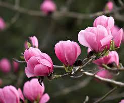 Fragrant Flowers 100pcs Saucer Magnolia Magnolia Soulangiana Fragrant Flowers Tree