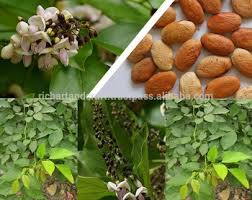 indian karanj forestry tree seeds pongamia pinnata rajasthan asia