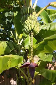 banana tree with fruit and blossom free stock photo public