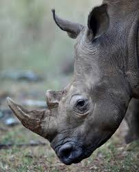 sle resume journalist position in kzn wildlife ezemvelo accommodation policeman and another man suspected of rhino poaching arrested in