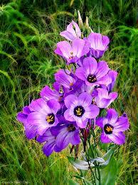 texas bluebells wildflowers pinterest the grass texas and