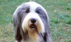 bearded collie mini bearded collie breed information