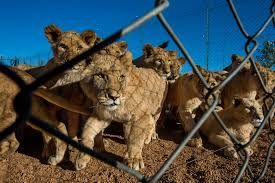 six national geographic photographers and the lions they u0027ve seen