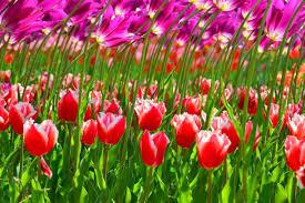 flower blossoms petals hitachi japan tulips colors park spring