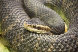 snake issues need snake removal in lakeland florida call 863