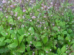 Heat Resistant Plants Jewels Of Opar Southern Exposure Seed Exchange