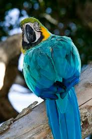 coloring macaw parrot pirate parrot coloring