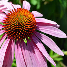 Echinacea Flower Echinacea Adventures In Cosmo Botanicals