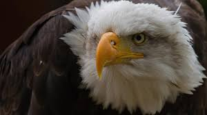 Bald Eagle And American Flag Flag Free Hd Top Most Downloaded Wallpapers Page 7