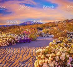 Where Is Anza Borrego by Anza Borrego Desert State Park Wildflowersca Stock Photo 512037110