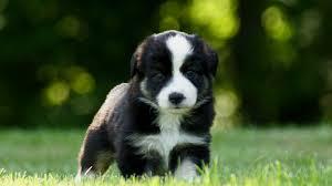 australian shepherd black july 2012 mini aussie puppies u2014 breezemore