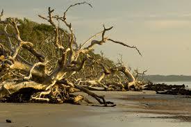 driftwood beach golden isles georgia
