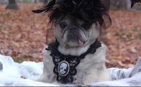 spooky halloween goth pug youtube