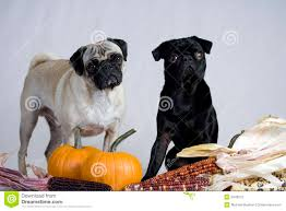 two pugs ready for thanksgiving stock photography image 6648272