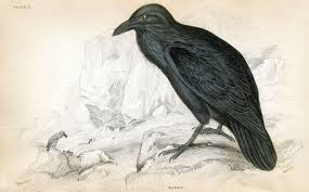 antique clip art 1830 u0027s raven natural history the graphics fairy