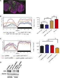 identification of redeye a new sleep regulating protein whose