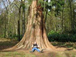 sequoia along the rhinefield ornamental drive lyndhurst