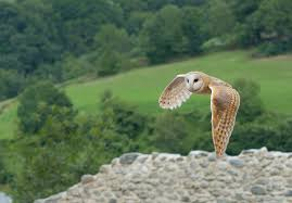 nocturnal birds of prey the barn owl legends and myths all you