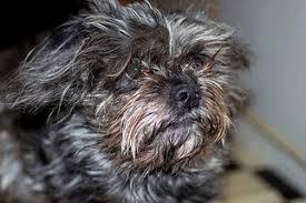 affenpinscher near me affenpinscher breed information and pictures on puppyfinder com