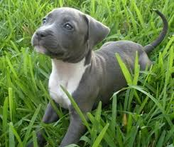 american pitbull terrier puppies for adoption best 25 pitbull terrier mix ideas on pinterest terrier pitbull