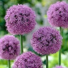 bloomsz allium globe master flower bulb 07480 the home depot