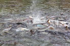 pesci alimentazione pesci d alimentazione nel fiume di bangkok fotografia stock