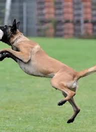 belgian sheepdog for sale in texas belgian malinois for sale trained belgian malinois wolfsbane k9