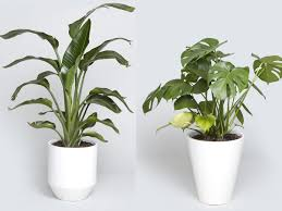 indoor planting indoor tree options you can grow using a bios urn biodegradable urn