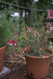 native pot plants natives for pots and containers part 2 mallee design
