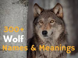 300 wolf names and meanings hubpages