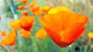i heart poppies the garden pinterest flower images
