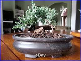indoor bonsai bonsai juniper tree zen garden nice gift indoor